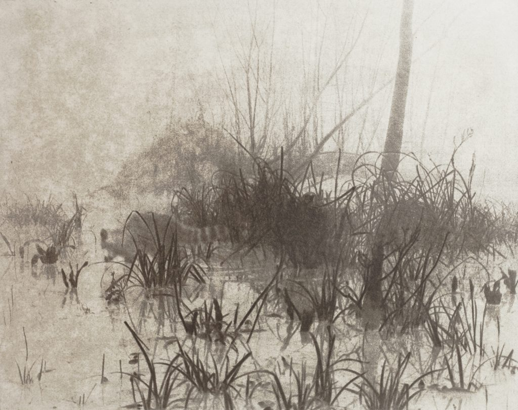 racoon in swamp