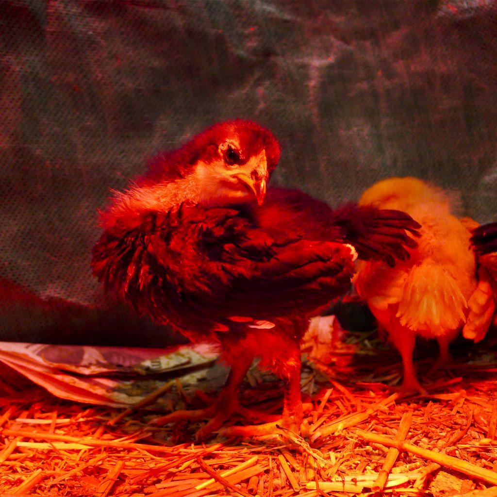australorp chick