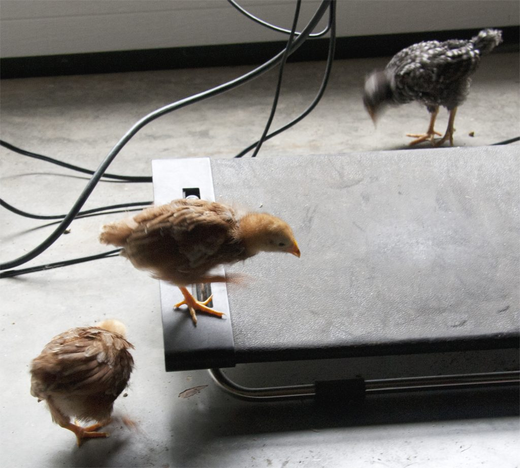 3 chicks walking under desk with wires