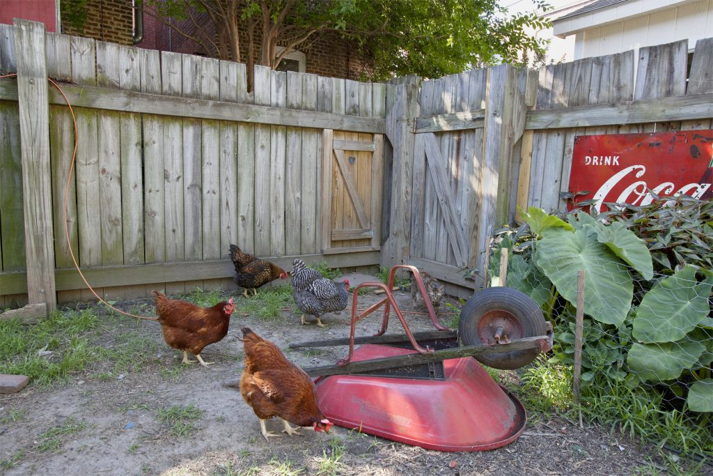 chickens in backyard with upturned wheelbarrow & fence