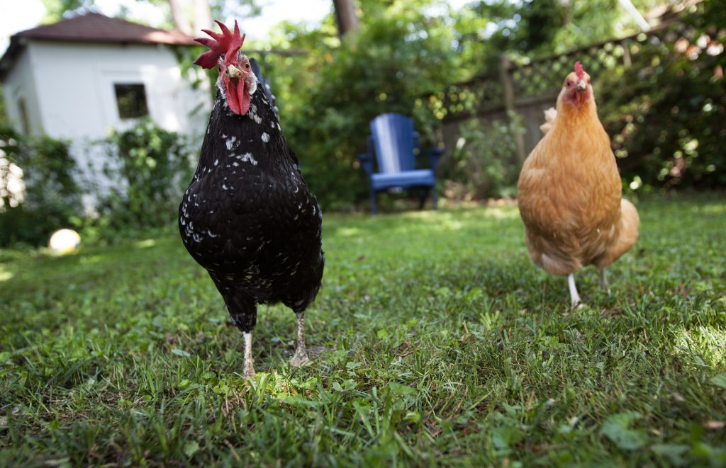 chickens in backyard