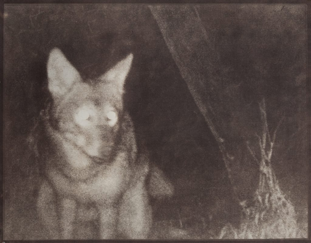 coyote in night landscape