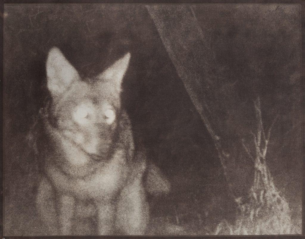 coyote in night landscape
