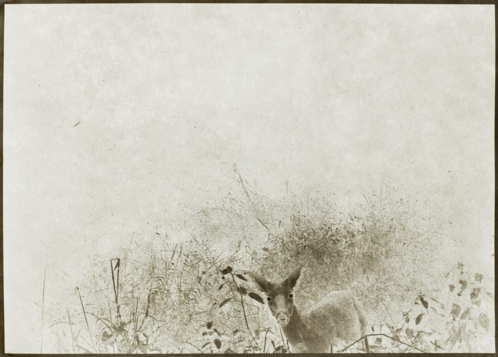deer in landscape