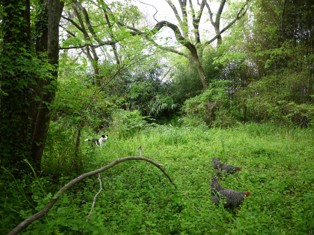 chickens & dog in woods