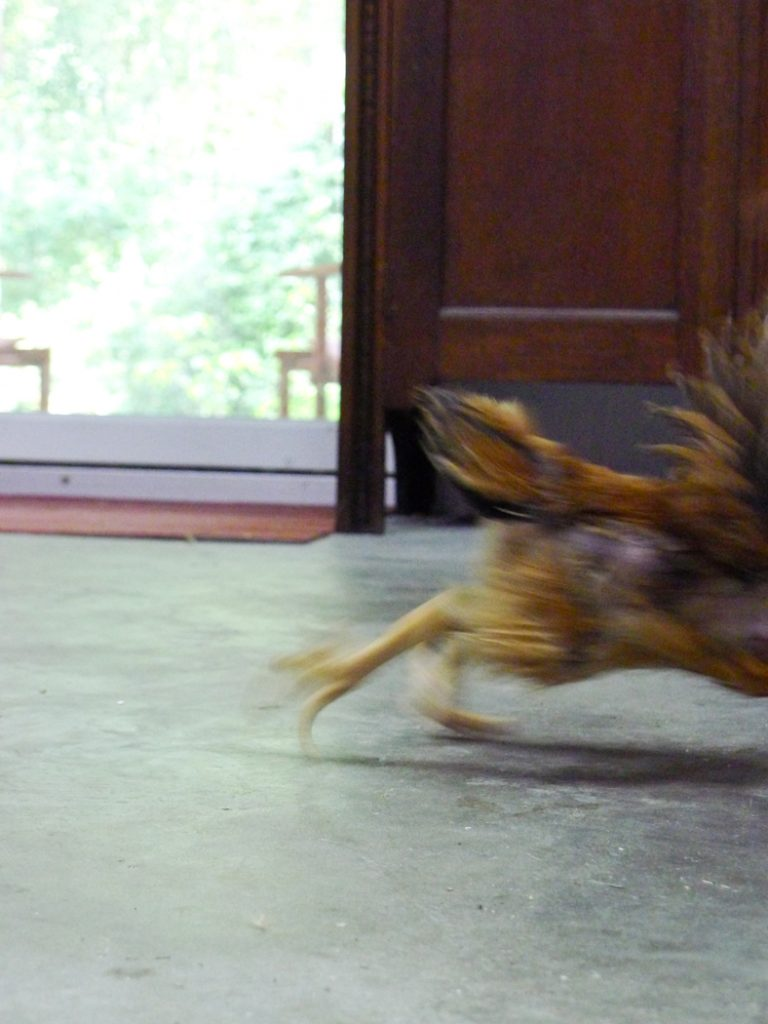 blur of running chicken in home